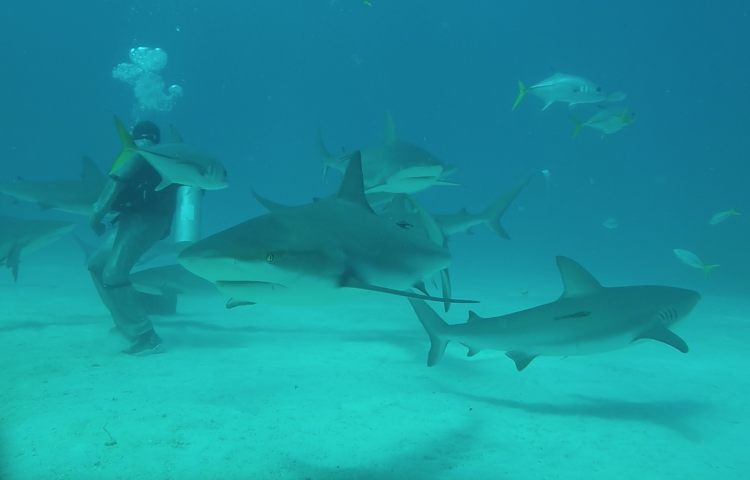 Nuotare con gli squali alle Bahamas - Swimming with sharks in Bahamas
